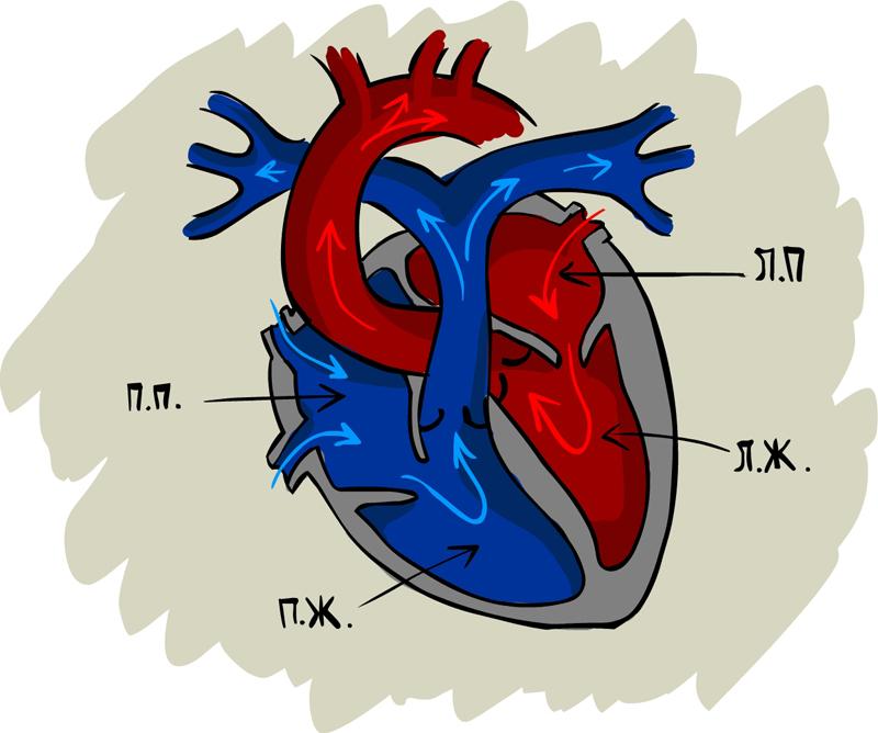 Схема строения сердца человека.  Для начала,исключительно в плане напоминания, в пределах школьной программы,анатомия...