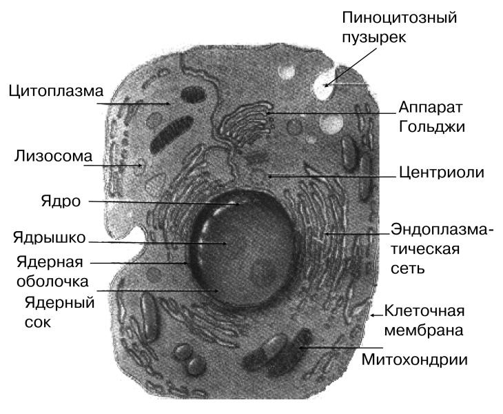 Схема строения клетки по данным электронного микроскопа.