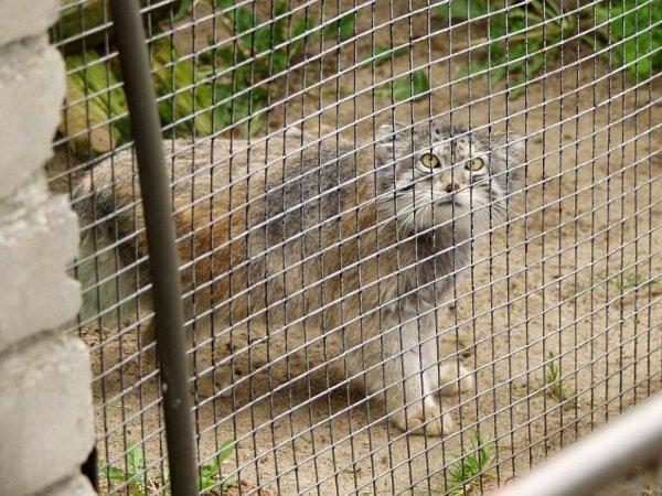 Манул в таллинском зоопарке