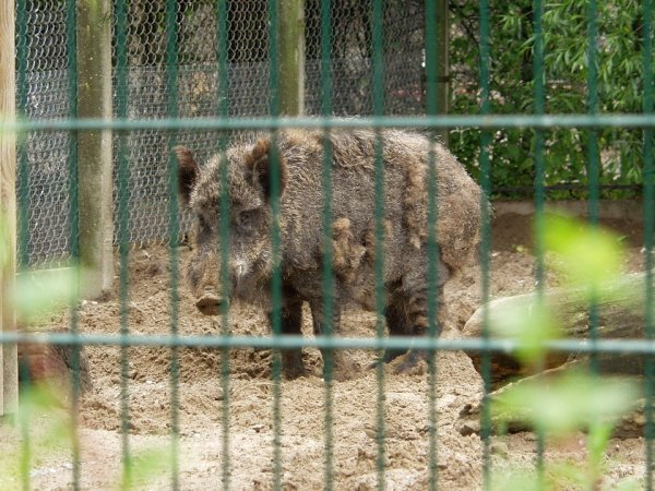 Русская свинья в Таллине