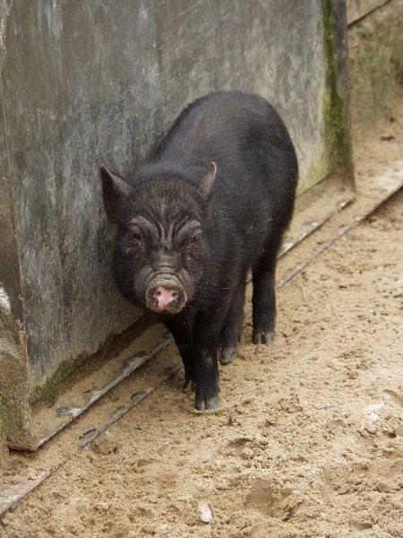 Вьетнамская карликовая свинья в таллинском зоопарке