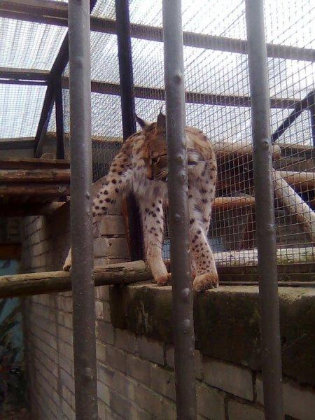 Рысь в таллинском зоопарке
