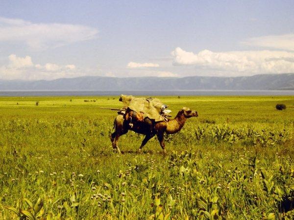 Правильно навьюченный верблюд на пешем переходе вдоль оз.Маркаколь к истокам р.Кальджир. 1991 г.